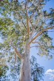 Arbre de gomme un jour ensoleillé avec un beau ciel bleu image stock
