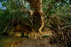 Arbre de gorge de vallées, parc national de Karijini Photo libre de droits