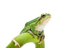 arbre de grenouille image libre de droits