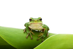arbre de grenouille photo stock