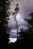 Arbre de hêtre émacié au bord de la forêt comme aga de silhouette Images libres de droits