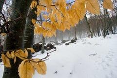 Arbre de hêtre avec des lames d'automne Photographie stock libre de droits