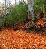 Arbre de hêtre centenaire d'automne dans des lames d'or d'automne Photos libres de droits