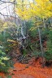 Arbre de hêtre centenaire d'automne dans des lames d'or d'automne Images stock
