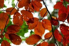 Arbre de hêtre de feuillage d'automne Image stock