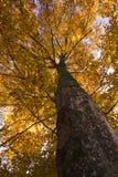 Arbre de hêtre en automne Images libres de droits