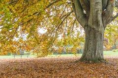 Arbre de hêtre en automne Photos stock