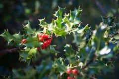 Arbre de houx ornemental à feuilles persistantes Photographie stock