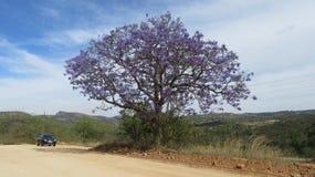 Arbre de Jacaranda photographie stock