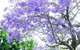 Arbre de Jacaranda images stock