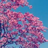Arbre de Jacaranda Image libre de droits
