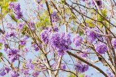 Arbre de Jacaranda avec des groupes de fleur pourpre image stock