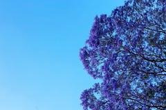 Arbre de Jacaranda en fleur photographie stock