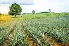 Arbre de jeunes d'ananas Photographie stock libre de droits