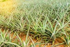 Arbre de jeunes d'ananas Photo libre de droits