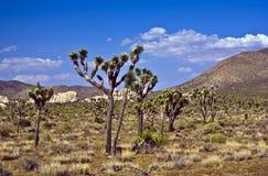 Arbre de Joshua avec des roches en parc national d'arbre de Joshua Images libres de droits