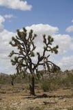 Arbre de Joshua, désert de Mojave image stock