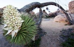 Arbre de Joshua de penchement chez Joshua Tree National Park Photographie stock
