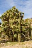 Arbre de Joshua et cactus de Saguaro Photos libres de droits