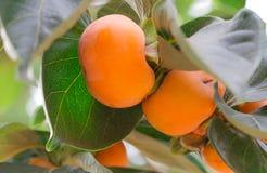 Arbre de kaki et orange lumineuse Photo libre de droits