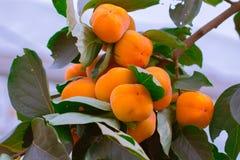 Arbre de kaki et orange lumineuse Photo stock
