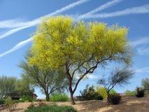 Arbre de l'Arizona Palo Verde Photographie stock