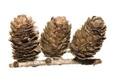 arbre de mélèze de dunkeld de cônes Photo stock