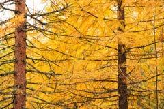 Arbre de mélèze jaune d'automne Images libres de droits