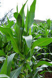 Arbre de maïs Photographie stock