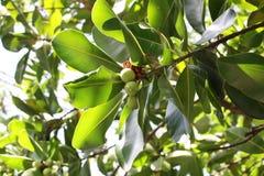 Arbre de macadamia Photos libres de droits