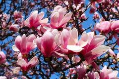 Arbre de magnolia Images stock