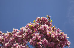 Arbre de magnolia Photo stock