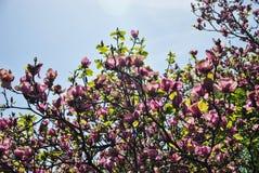 Arbre de magnolia avec une abondance des fleurs roses et pourpres au jardin botanique Photos stock