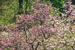 Arbre de magnolia avec une abondance des flowes roses et pourpres au jardin botanique Photo stock