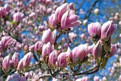 Arbre de magnolia complètement des fleurs roses Images libres de droits