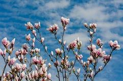 Arbre de magnolia dans la fleur images libres de droits