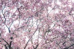 Arbre de magnolia dans la pleine fleur Photo stock
