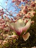 Arbre de magnolia dans le jardin botanique, Sopron photo libre de droits