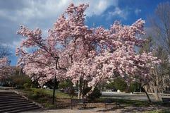 Arbre de magnolia dans le Washington DC Image libre de droits