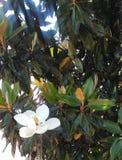 Arbre de magnolia de sud profonds photographie stock