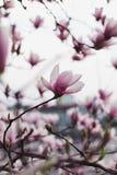 Arbre de magnolia en fleur Photo libre de droits