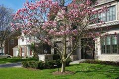 Arbre de magnolia fleurissant au printemps photos stock