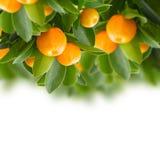 Arbre de mandarine Photos libres de droits