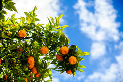 Arbre de mandarine Photographie stock