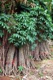 Arbre de manioc Photographie stock libre de droits