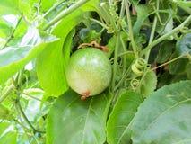 Arbre de Maracuja, passion-fruit Photographie stock