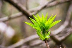 Arbre de maronnier américain de la Californie élevant de nouvelles feuilles, la Californie images libres de droits