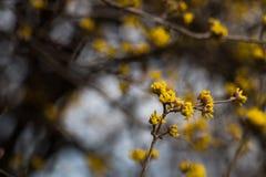 Arbre de MAS de cornus avec les fleurs jaunes Image libre de droits