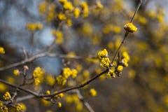 Arbre de MAS de cornus avec les fleurs jaunes Photos libres de droits