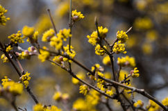 Arbre de MAS de cornus avec les fleurs jaunes Photo libre de droits
